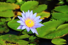 tropiskt vatten för lilja Royaltyfri Foto