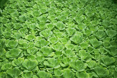 Tropiskt vatten-, vattengrönsallat, grön vattenväxt, tropisk grönska, bakgrund för natur för pistiastratiotes tropisk Royaltyfri Fotografi
