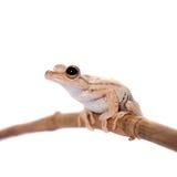 Troschel`s tree frog, Hypsiboas calcaratus, on white. Troschel`s tree frog or the convict tree frog, Hypsiboas calcaratus, isolated on white background Royalty Free Stock Photo