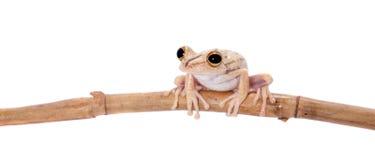 Troschel`s tree frog, Hypsiboas calcaratus, on white. Troschel`s tree frog or the convict tree frog, Hypsiboas calcaratus, isolated on white background Stock Photos