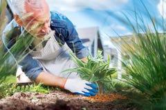 Troskliwa siwowłosa ogrodniczka jest ubranym białe rękawiczki bogaci glebowej pobliskiej rośliny zdjęcie royalty free