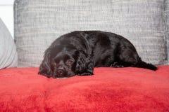 Troszkę kłama na leżance czarny pies zdjęcie royalty free