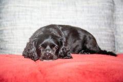 Troszkę kłama na leżance czarny pies obraz stock