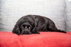 Troszkę kłama na leżance czarny pies zdjęcie stock