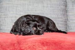 Troszkę kłama na leżance czarny pies obrazy royalty free