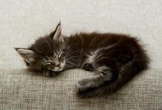 Troszkę śpi sweetly puszysta figlarka fotografia royalty free
