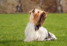 Troszkę bawić się outside w ogródzie Yorkshire Terrier Zdjęcia Stock
