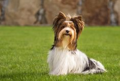 Troszkę bawić się outside w ogródzie Yorkshire Terrier Zdjęcie Stock