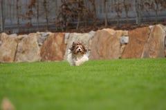 Troszkę bawić się outside w ogródzie Yorkshire Terrier Zdjęcie Royalty Free