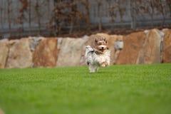 Troszkę bawić się outside w ogródzie Yorkshire Terrier Zdjęcia Royalty Free