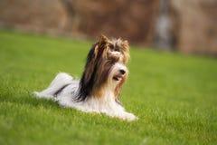 Troszkę bawić się outside w ogródzie Yorkshire Terrier Obraz Royalty Free