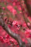 Troszkę czerwień niż kwiaty Zdjęcie Royalty Free