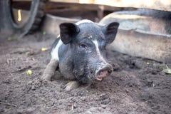 Troszkę kłama na ziemi czarna świnia obraz stock