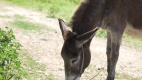Troszkę karmi osła na osła gospodarstwie rolnym w górach Cypr dziewczyna zbiory