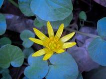 Troszkę opuszcza Żółty wiosna kwiat przeciw tłu swój zieleń obraz royalty free