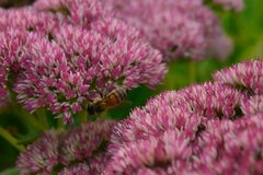 Troszkę pszczoła Obraz Royalty Free