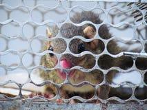Troszkę wiewiórka łapać w pułapkę w klatce z nosowym urazem Obrazy Royalty Free