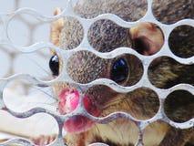 Troszkę wiewiórka łapać w pułapkę w klatce z nosowym urazem Zdjęcia Royalty Free