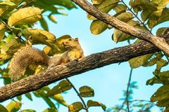 Troszkę wiewiórka na drzewie obraz royalty free