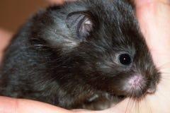 Troszkę czarna mysz Zdjęcia Royalty Free