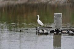 Troszkę Egret przy rybim stawem obok Mai Po rezerwata przyrody Hong Kong Obrazy Royalty Free