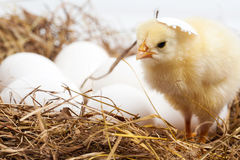 Troszkę jest w gniazdeczku kurczak fotografia royalty free