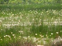 Troszkę lotuses lub woda obraz royalty free