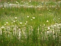 Troszkę lotuses lub woda obrazy royalty free