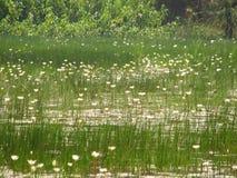 Troszkę lotuses lub woda fotografia royalty free