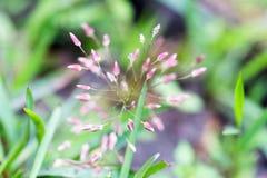 Troszkę purpurowy trawa kwiat w makro- Fotografia Royalty Free