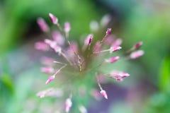 Troszkę purpurowy trawa kwiat w makro- Obrazy Royalty Free