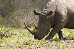 Trot blanc de rhinocéros Images libres de droits