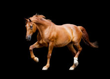 Trot de cheval de châtaigne d'isolement sur le fond noir Images libres de droits