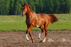 Trot horse royalty free stock photography