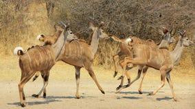 Trot Kudu - африканская антилопа Стоковое Изображение