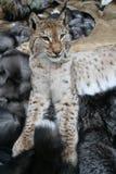 Trot; lynx. Taxidermy on fur Royalty Free Stock Image