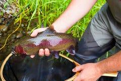 Trota di Holding Trophy Rainbow del pescatore della mosca Fotografia Stock
