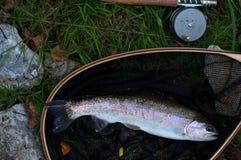 Trota iridea in guadino Fotografie Stock Libere da Diritti