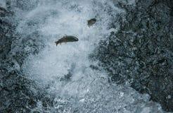 Trota nella corrente di acqua Fotografia Stock Libera da Diritti