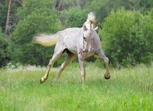 Trotador branco do orlov Imagens de Stock