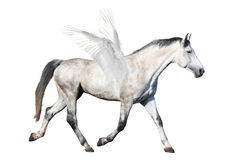 Trotar cinzento de pegasus do cavalo isolado no branco Fotografia de Stock Royalty Free