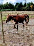 Trotar vermelho do cavalo imagens de stock