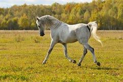 Trote de la corrida del caballo blanco en el prado Imagen de archivo