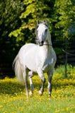Trote de las corridas del caballo blanco en verano Imágenes de archivo libres de regalías