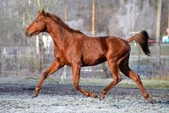 Trote del caballo de la castaña Foto de archivo libre de regalías