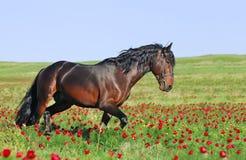 Trote del funcionamiento del caballo de Brown en pasto Imagen de archivo libre de regalías