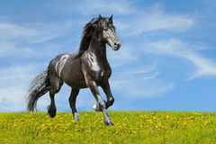 Trote negro de las corridas del caballo en el prado Foto de archivo