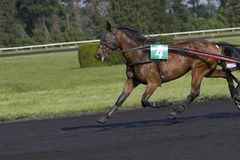 Troter. A trotter during the race stock photography