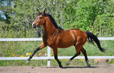 Troting bay purebred horse. On manege Royalty Free Stock Photos