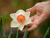 Trots in een Gele narcis in volledige bloei voor het tuinieren royalty-vrije stock fotografie